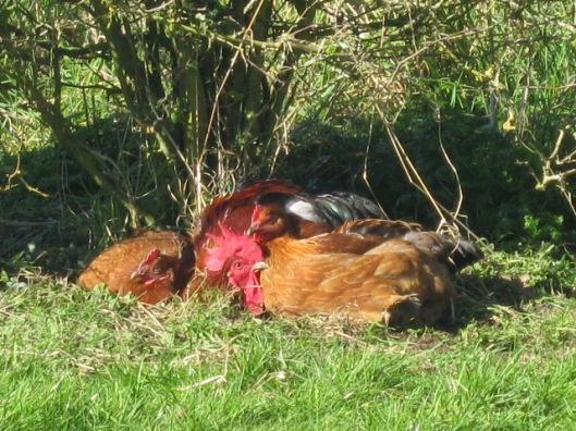 016Cuddling sunbathing chickens (640x480)