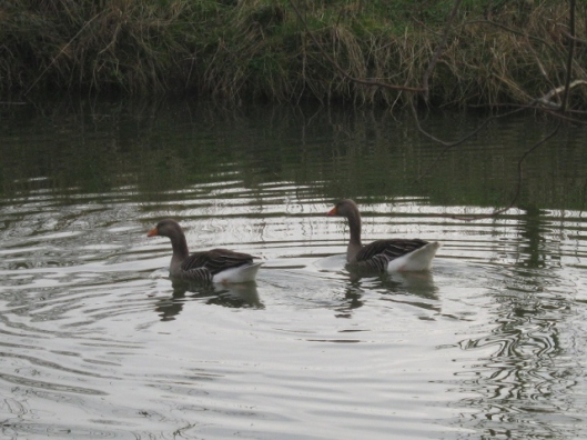 016Pair of geese on pond (640x480)