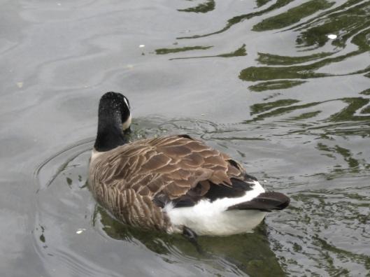 019Canada goose (640x480)