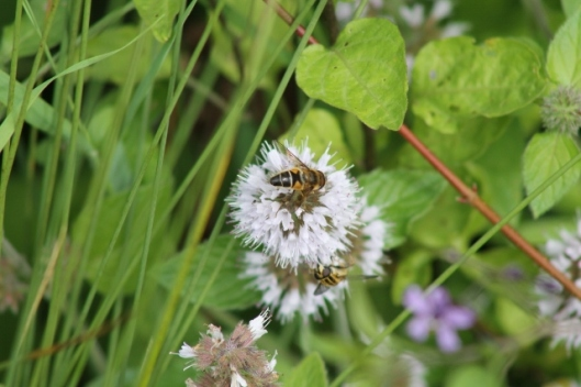 020Watermint with hoverflies (640x427)