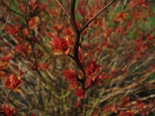 022New leaves on spirea (640x480)