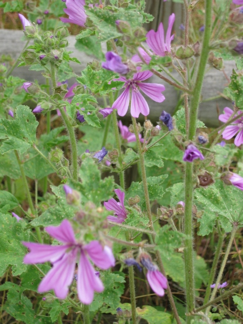 023Common Mallow (480x640)