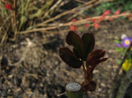 023New leaves on rose (640x480)