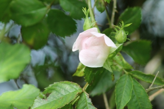 026Dog Rose bud (640x427)