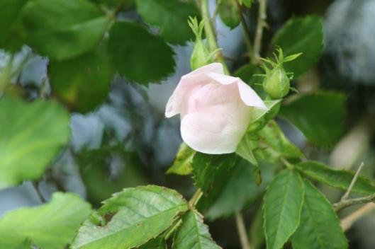 026Dog Rose bud (640x427)