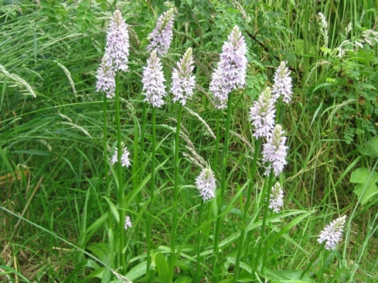 030Common spotted orchid (640x480)