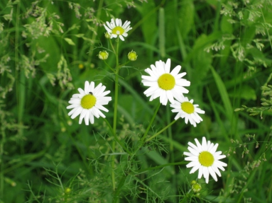 030Mayweed (640x480)