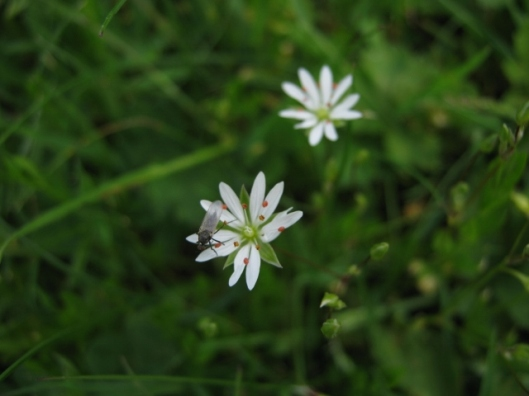 036Lesser stitchwort with fly (640x480)