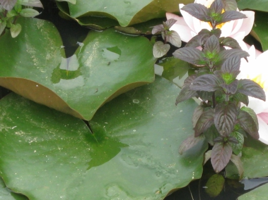 061Water mint with water lilies (640x480)
