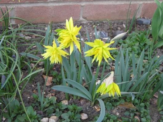 107Rip van Winkle daffodils (640x480)