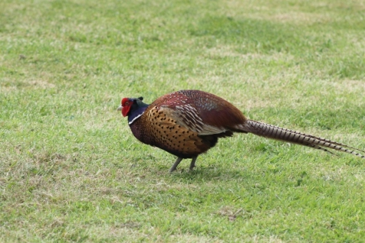 003Cock Pheasant (640x427)