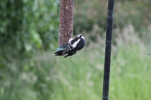 005Female greater spotted woodpecker (640x427)
