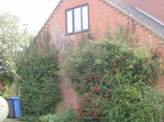005Pyracantha at side of house (640x480)