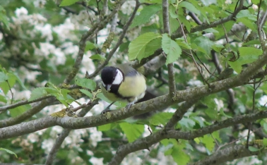 006Great Tit (640x397)
