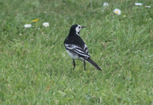 007Pied wagtail (640x442)