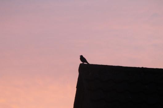 012Blackbird (640x427)