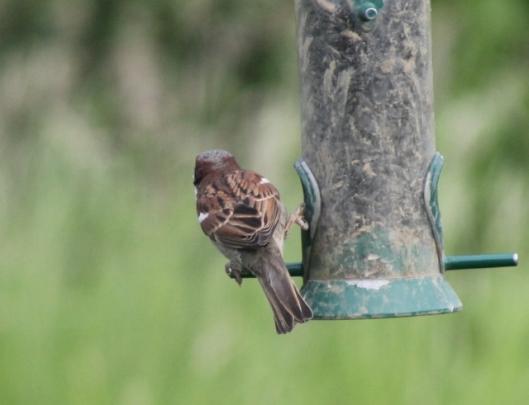 012Male house sparrow (640x491)