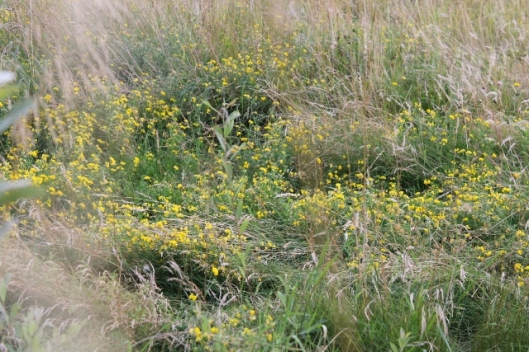 016Bird's-foot Trefoil (640x427)