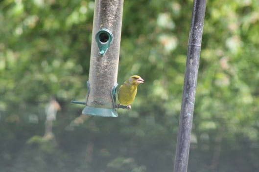 018Greenfinch (640x427)
