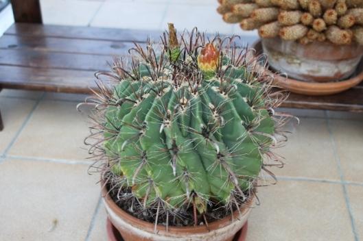 020Fero cactus (640x427)