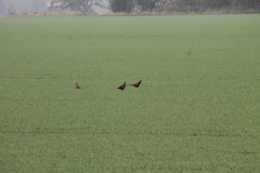 020Pheasants on field (640x427)