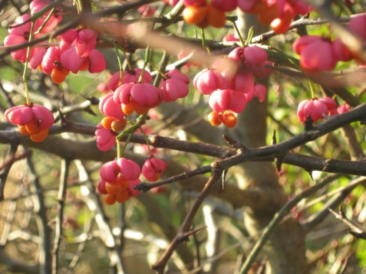 023Spindle berries (640x480)