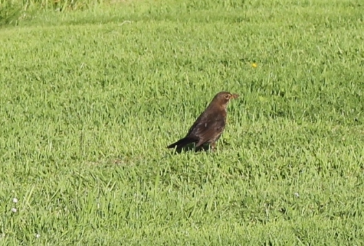 025Female blackbird (640x434)