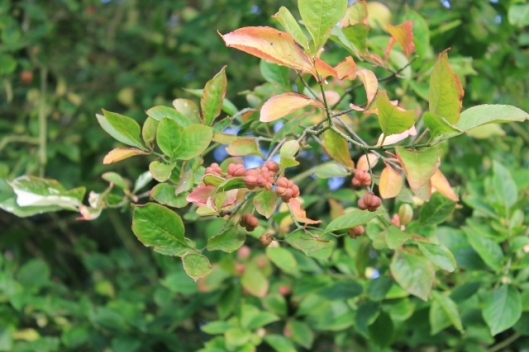 026Spindle berries (640x427)