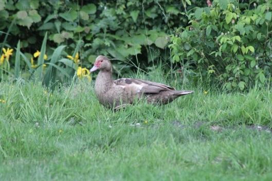 033Muscovy duck (640x427)