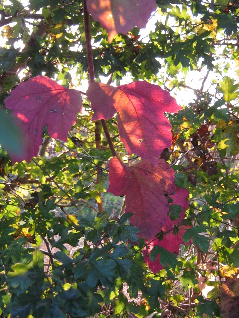 034Guelder Rose leaves (2) (480x640)