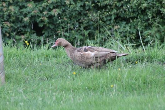 034Muscovy duck (640x427)