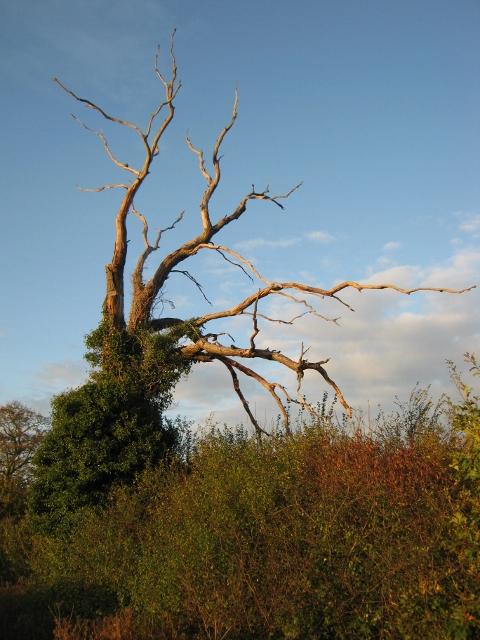 036Dead oak (480x640)