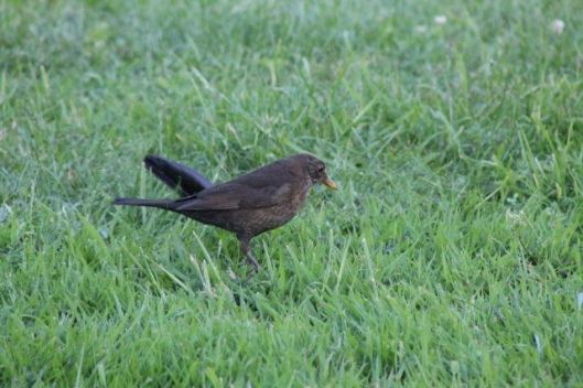 036Female blackbird (640x427)