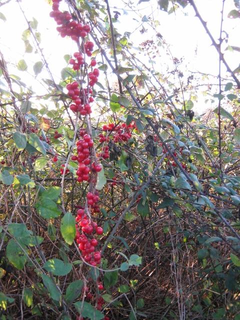 037Bryony berries (480x640)