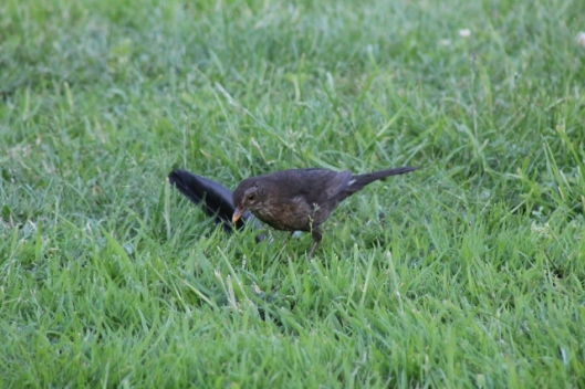 037Female blackbird (640x427)