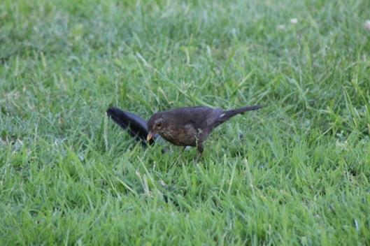 037Female blackbird (640x427)