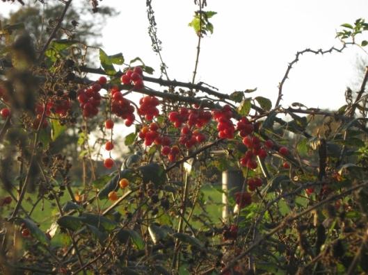 038Bryony berries (640x480)