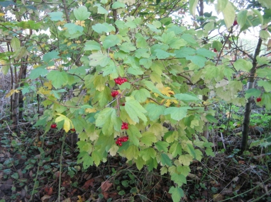 042Guelder rose with berry drupes (640x480)