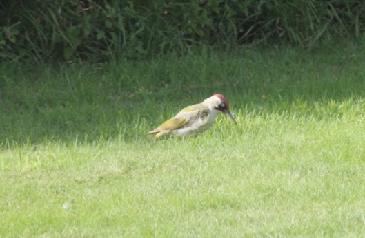 062Green Woodpecker (640x419)