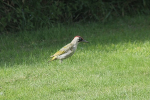 065Green Woodpecker (640x427)