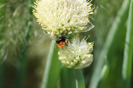 026Tawny Mining Bee on Welsh Onion (640x427)
