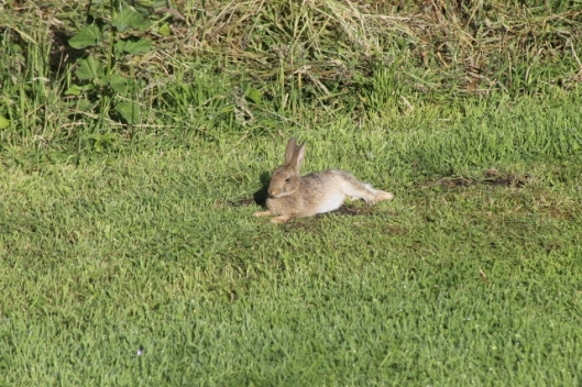 098Sleeping rabbit (640x427)