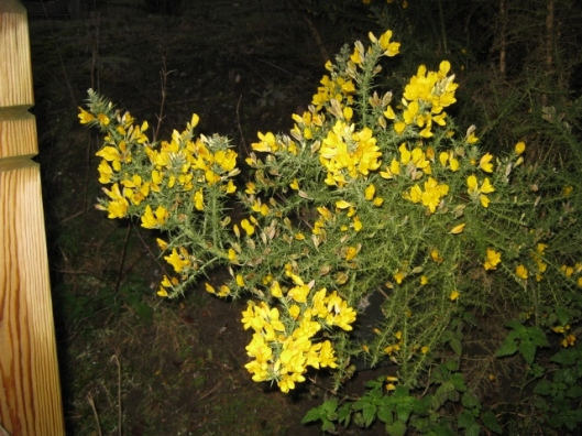 IMG_3868Gorse at Minsmere (640x480)