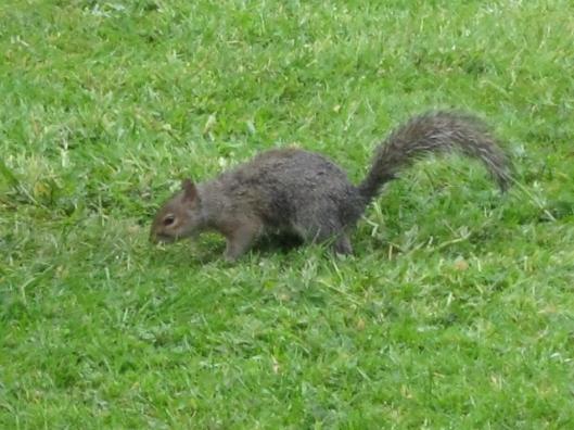 001Grey squirrel (640x480)