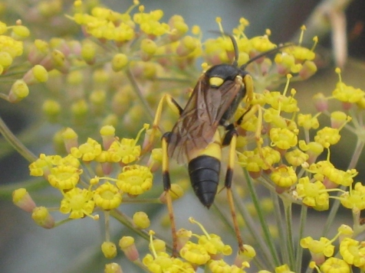 001Ichneumon wasp on fennel (640x480)