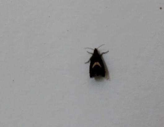 001Micro moth (640x497)