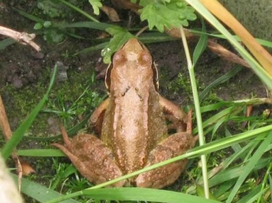 003Common frog (640x480)