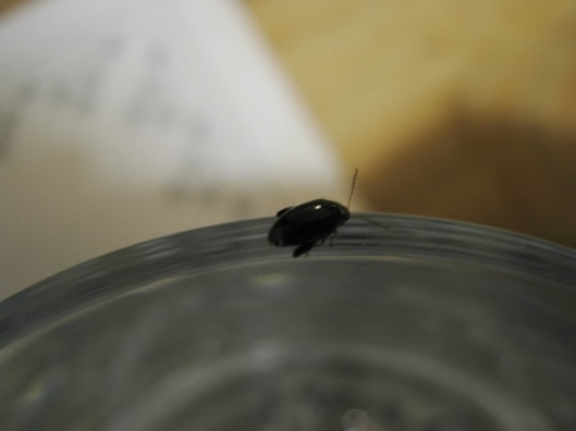 003Little black beetle (640x480)