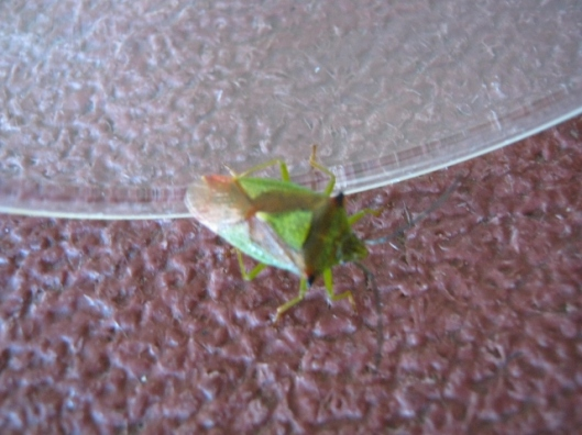 004Hawthorn Shield Bug (640x480)