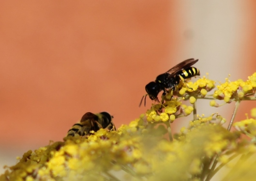 004Wasps on fennel (640x452)